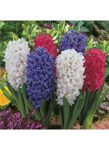 Hyacinthus seeds soil culture hydroponic