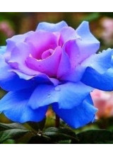 Light Blue and Purple Japanese Rose