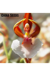 Orchid Seed Flower Seeds  Home Garden Phalaenopsis